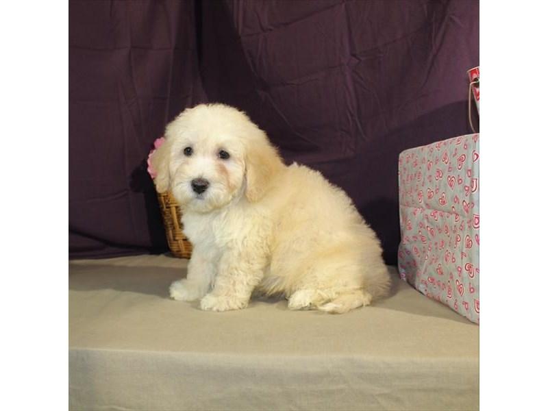 Poodle/Bichon-Male-Apricot-2014231-My Next Puppy