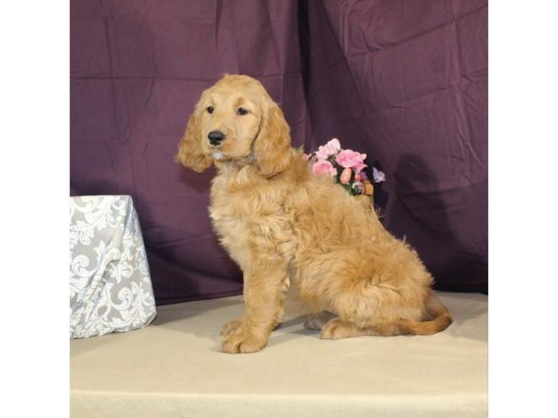 Poodle/Golden Retriever-Female-Dark Golden-2014233-My Next Puppy