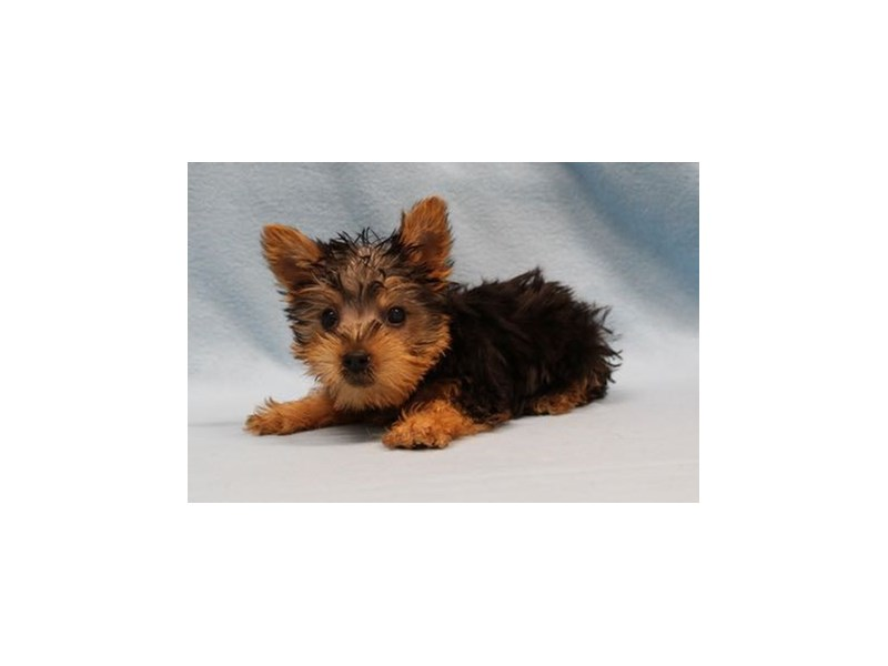 Silky Terrier-Male-Black / Tan-2019557-My Next Puppy