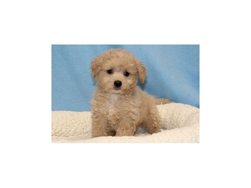 Maltese/Poodle-Male-Apricot-2019559-My Next Puppy