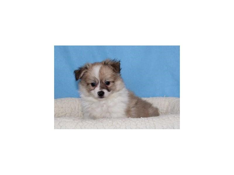 Pomeranian/Maltese-Male-Sable / White-2026409-My Next Puppy