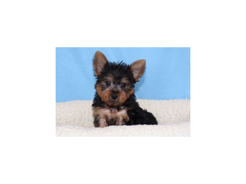 Yorkshire Terrier/Silky Terrier