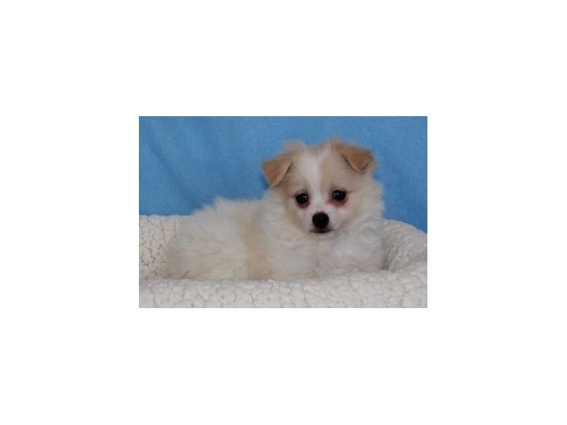 Pomeranian/Maltese