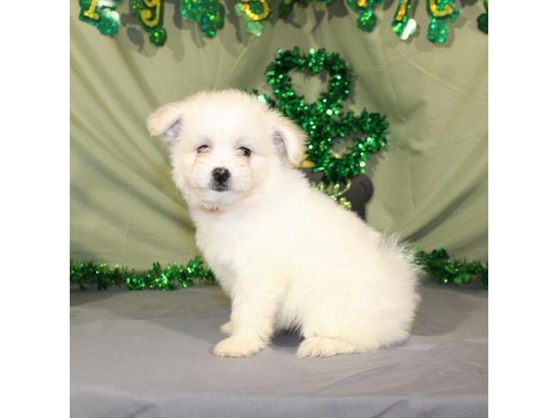 Pomeranian/Bichon-Female-White-2030544-My Next Puppy