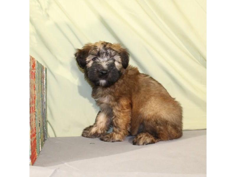 Soft Coated Wheaten Terrier-Female-Wheaten-2030545-My Next Puppy
