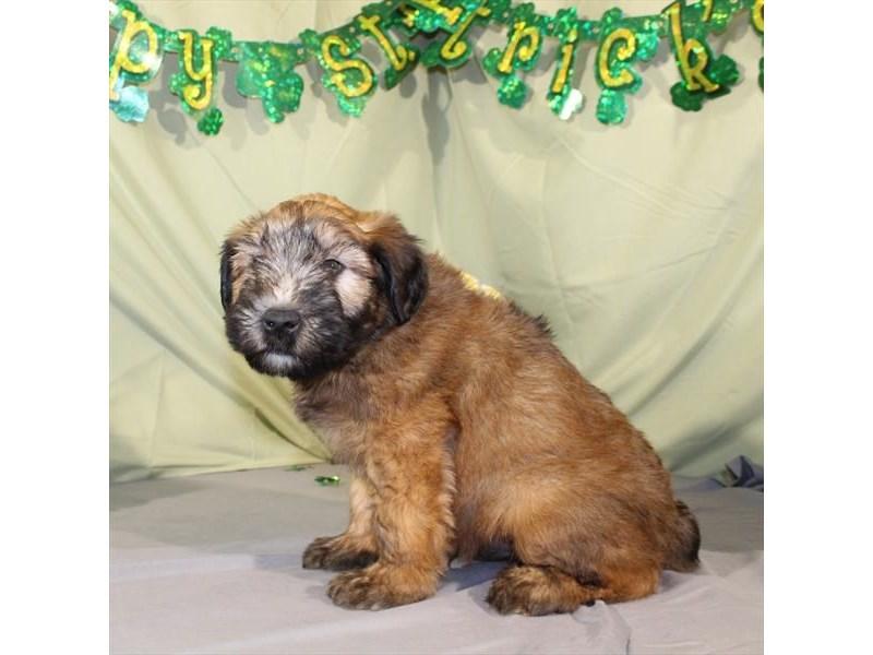Soft Coated Wheaten Terrier-Male-Wheaten-2030546-My Next Puppy