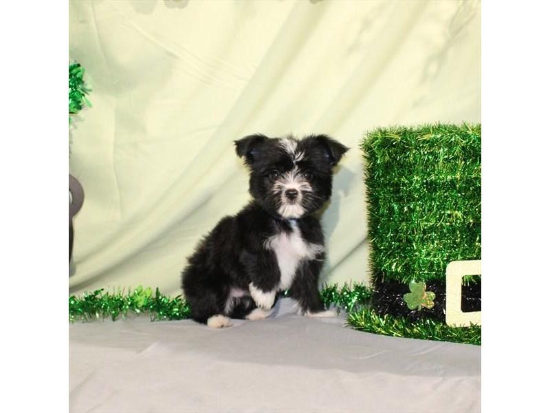 Maltese/Yorkshire Terrier