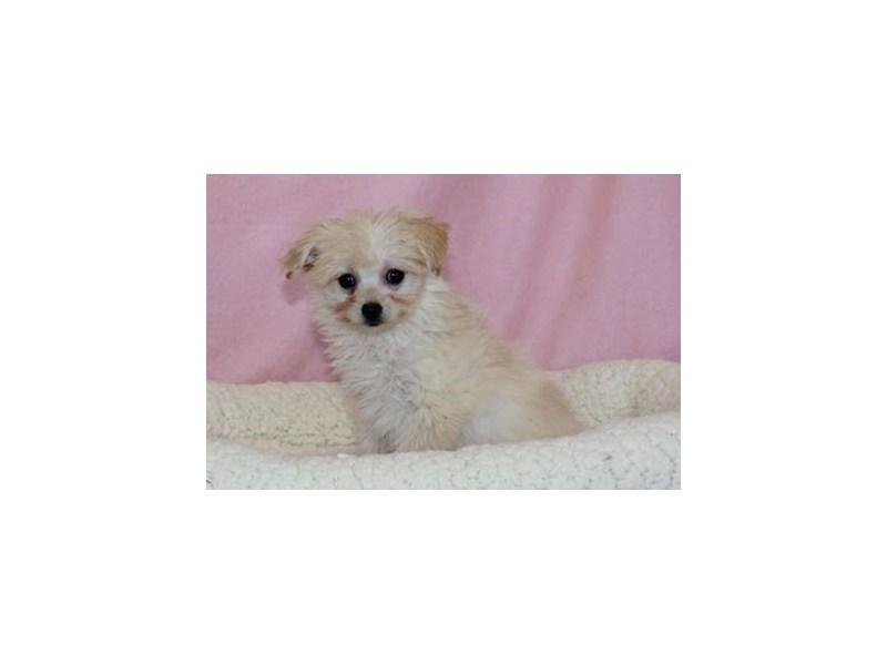 Pomeranian/Poodle-Female-Cream-2030685-My Next Puppy