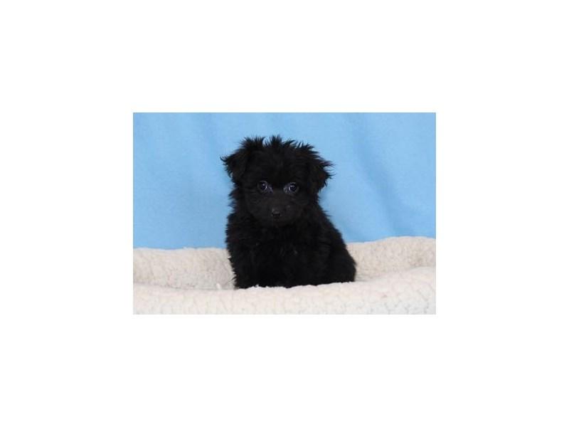 Pomeranian/Poodle-Male-Black-2030686-My Next Puppy