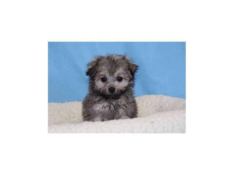 Pomeranian/Poodle