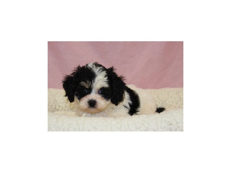 Cavalier King/Bichon-Female-Black White / Tan-2030688-My Next Puppy