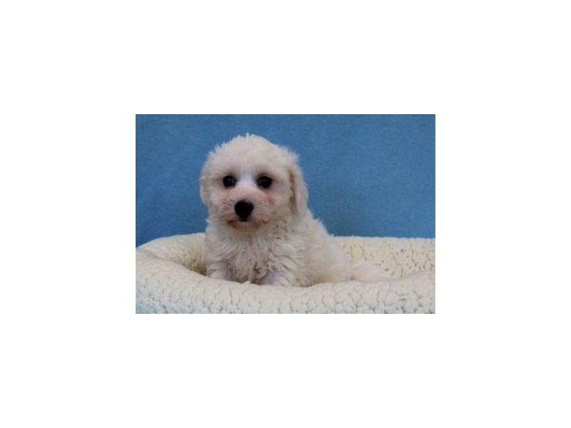 Havanese/Bichon-Male-White-2036146-My Next Puppy