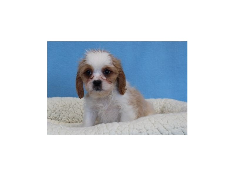 Cavalier King/Lhasa Apso-Male-Apricot-2036148-My Next Puppy
