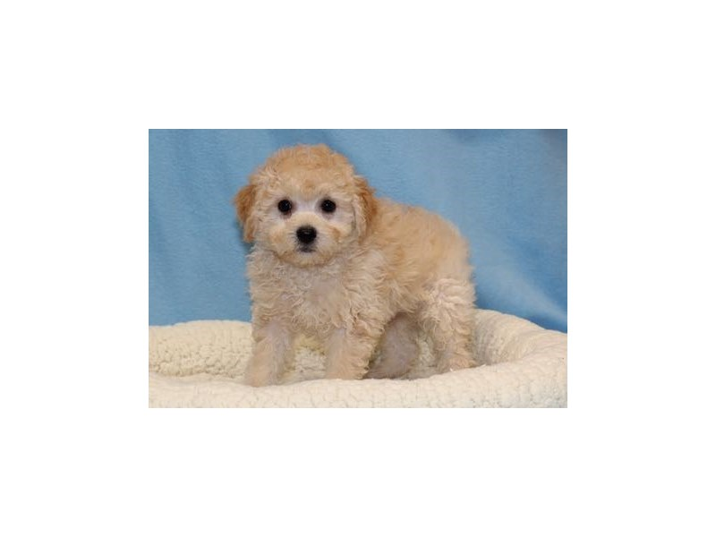Maltese/Poodle-Male-Apricot-2036157-My Next Puppy