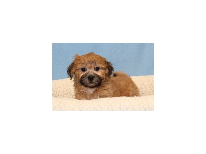Shih Tzu/Bichon-Male-Golden Brindle-2046173-My Next Puppy