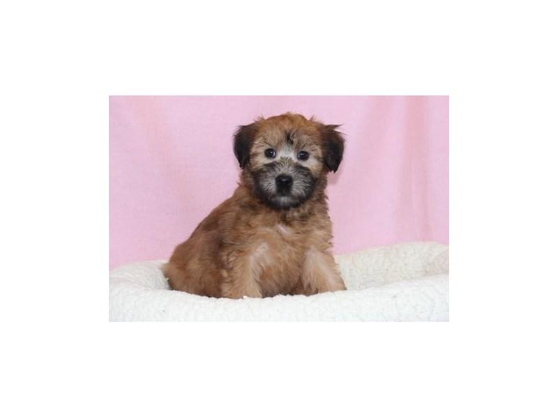Soft Coated Wheaten Terrier-Female-Wheaten-2036152-My Next Puppy