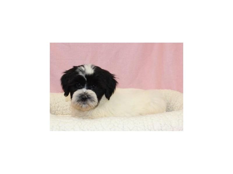 Tibetan Terrier-Female-Black / White-2036160-My Next Puppy