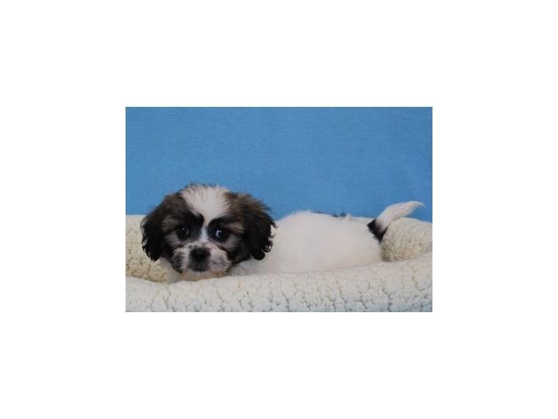Pekingese/Bichon Frise-Male-Sable / White-2036209-My Next Puppy