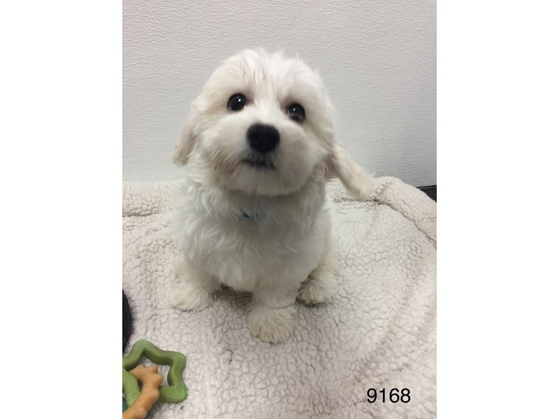 Bichon Frise / Maltese-Female-White-2051055-My Next Puppy
