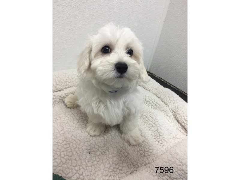 Bichon Frise / Maltese-Male-White-2051023-My Next Puppy