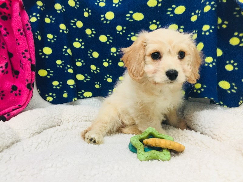 Cavalier King Charles Spaniel/Bichon Frise-Male-TAN-2056869-My Next Puppy