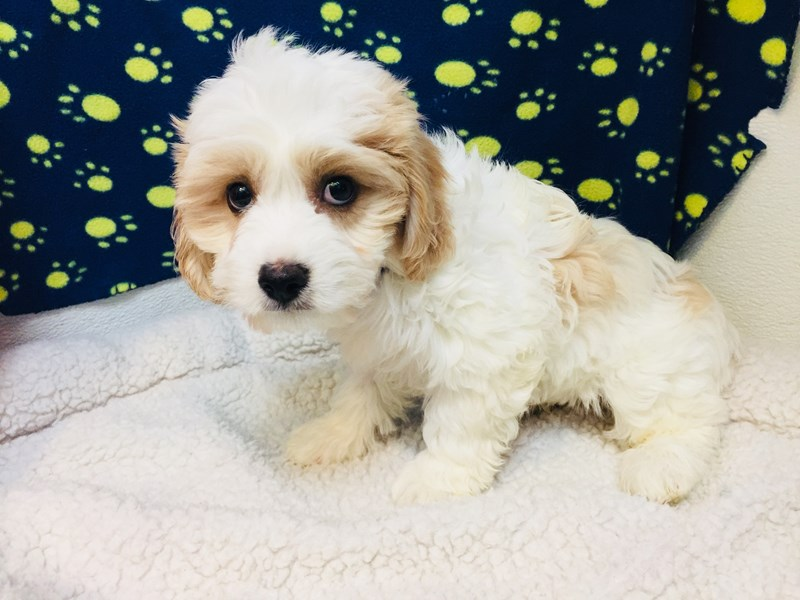 Cavalier King Charles Spaniel/Bichon Frise-Male-Tan/White-2056690-My Next Puppy