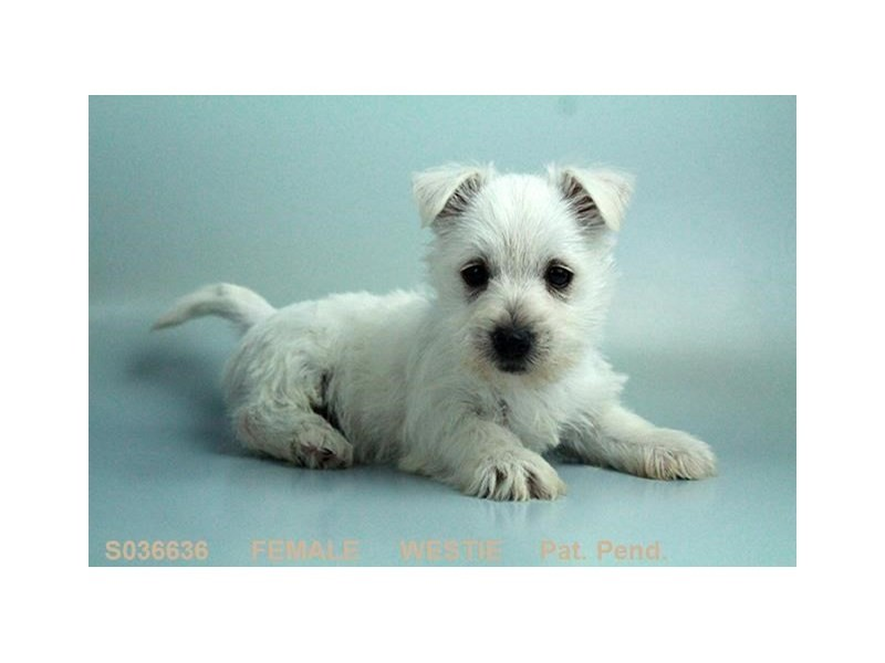West Highland Wh Tr-Female-WH-2058415-My Next Puppy