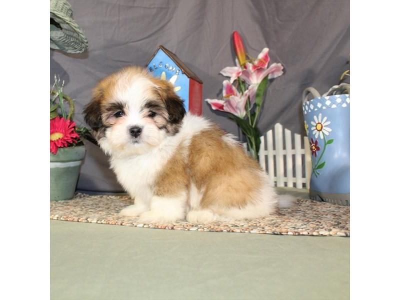 Maltese/Shih Tzu-Male-White / Gold-2059195-My Next Puppy
