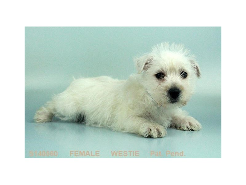 West Highland Wh Tr-Female-WH-2063615-My Next Puppy