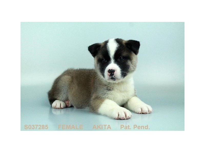 Akita-Female-FWN BL OVRLY-2063620-My Next Puppy