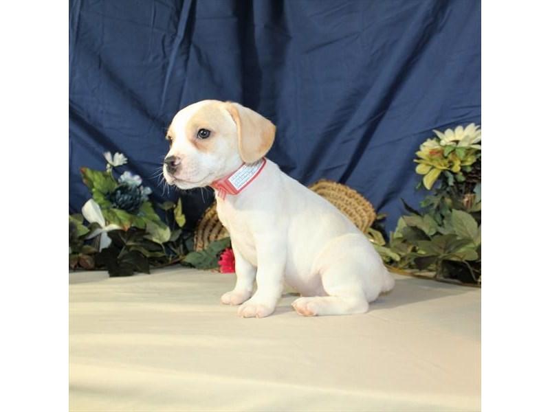 French Bulldog/Beagle