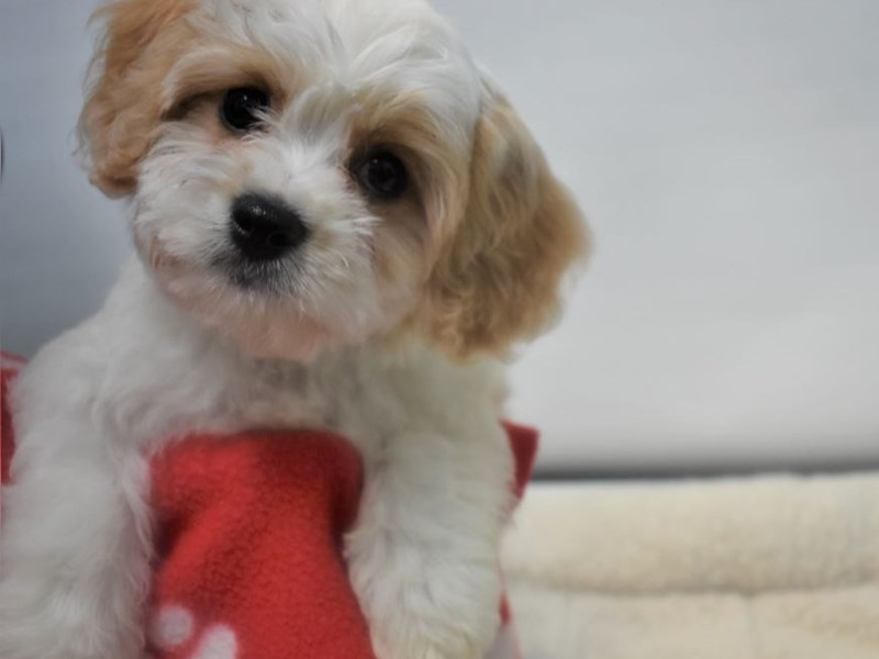 Cavalier King Charles Spaniel/Bichon Frise-Male-Blennhiem-White-2066678-My Next Puppy