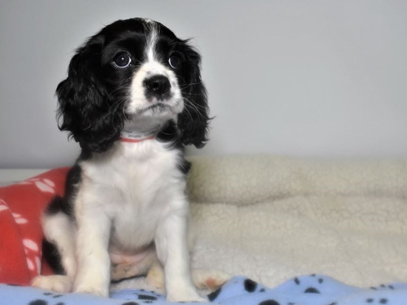 Cocker Spaniel/Cavalier King Charles Spaniel-Female-Black-White-2066691-My Next Puppy