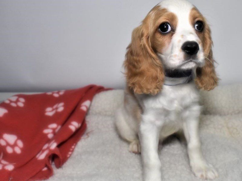 Cocker Spaniel/Cavalier King Charles Spaniel-Male-Tan-White-2066688-My Next Puppy
