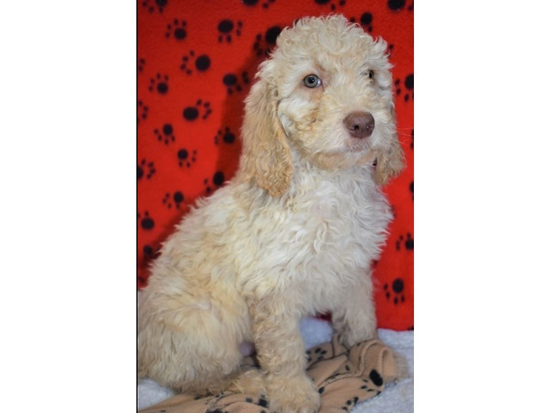 Golden-Poo-Male-Golden-2076867-My Next Puppy