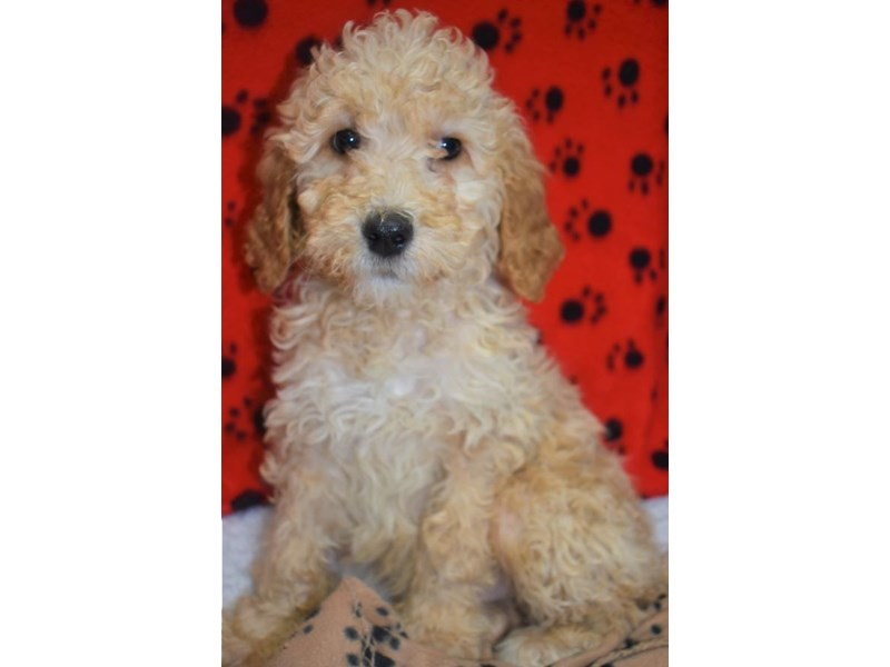Golden-Poo-Male-Golden-2076862-My Next Puppy