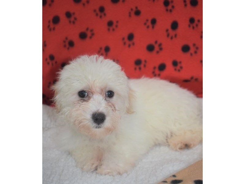 Bichon Frise / Maltese-Male-White-2076889-My Next Puppy