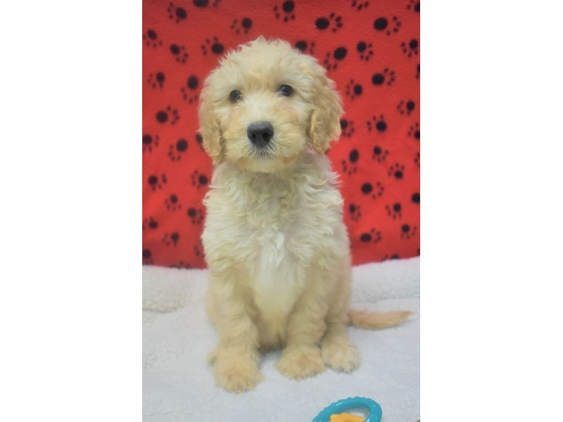 Golden-Poo-Male-Golden-2076870-My Next Puppy