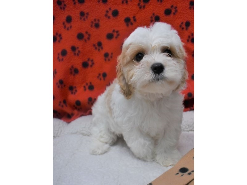 Cavachon (Cavalier/Bichon)-Female-Tan-White-2076969-My Next Puppy