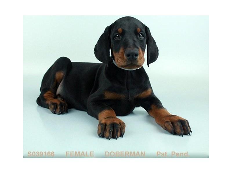 Doberman Pinscher-Female-BLK & RST-2079764-My Next Puppy