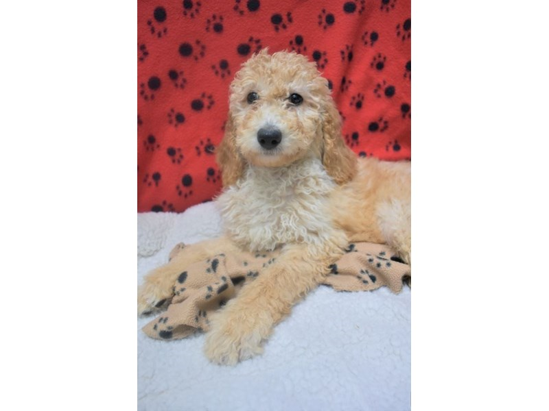 Poodle-Female-Apricot-2077054-My Next Puppy