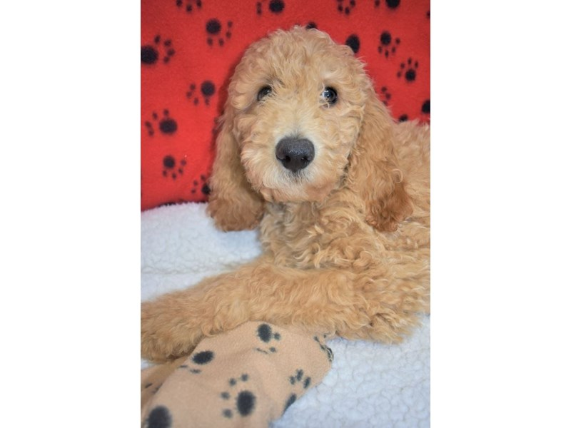 Poodle-Male-Apricot-2077057-My Next Puppy