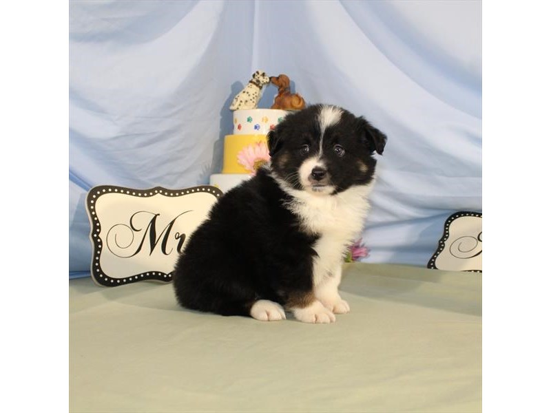 Australian Shepherd-Female-Black / Tan-2079445-My Next Puppy