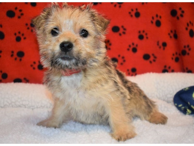 Cairn Terrier-Female-Wheaten-2087154-My Next Puppy