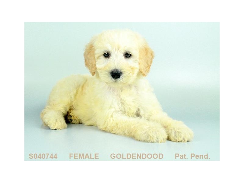 Goldendoodle-Female-LT GLDN-2093774-My Next Puppy
