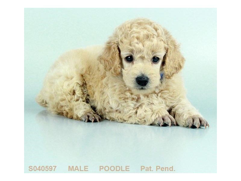 Poodle-Male-APCT-2093778-My Next Puppy