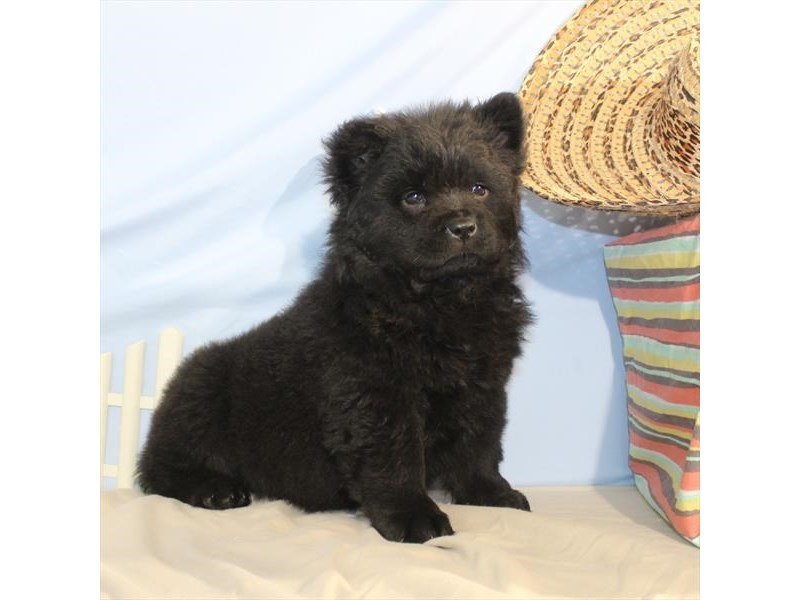 Chow Chow-Female-Black-2095857-My Next Puppy