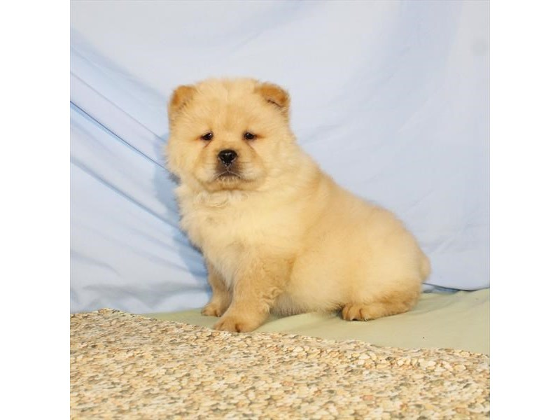 Chow Chow-Male-Cream-2095863-My Next Puppy