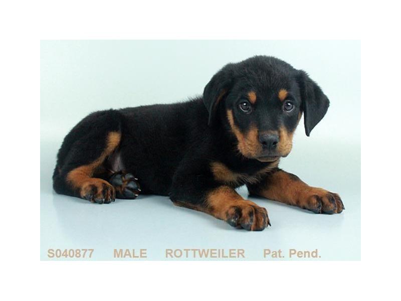 Rottweiler-Male-BLK & RST-2099196-My Next Puppy