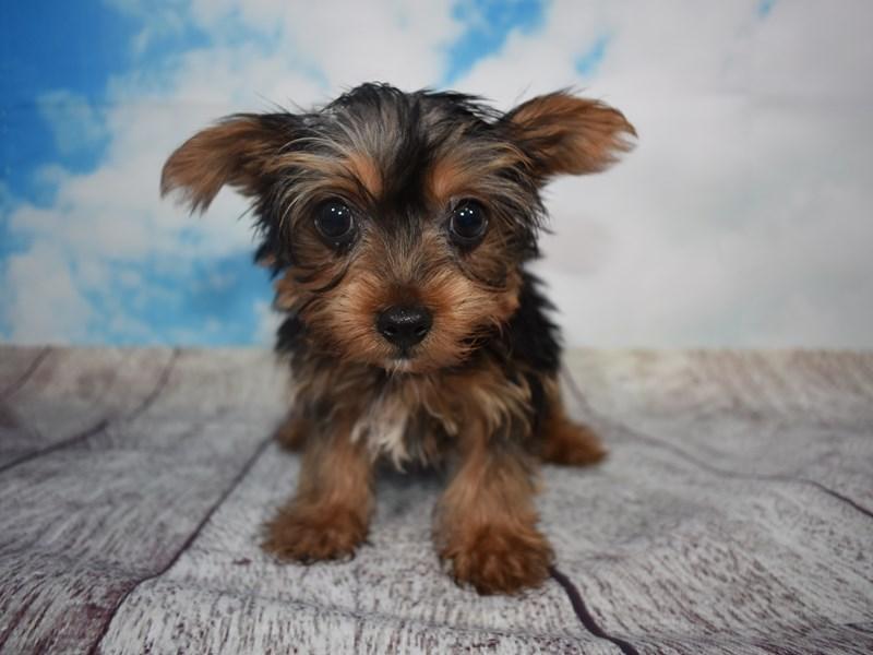 Yorkshire Terrier – Murphy
